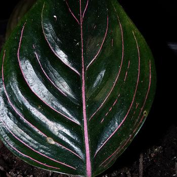 Aglaonema rotundum Ache.JPG