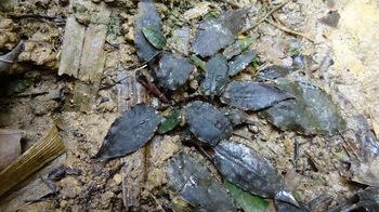 C. sp. Lingga 30 Black Leaf.jpg