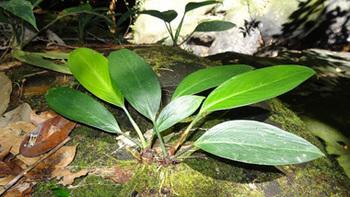 eAridarum-crasum-Borneoxifremover.com(46).jpg